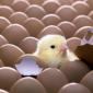 Производство и инкубация яиц